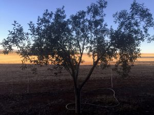 Picture of olive tree in front of a field.