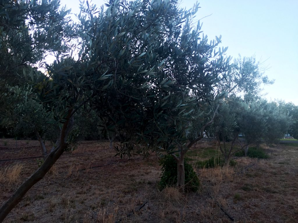 Picture of a small grove of olive trees.