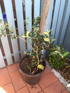 Picture of small olive tree in a black pot, with a stake for support.